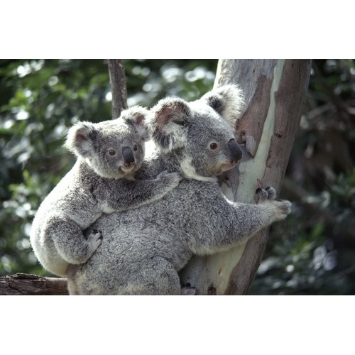 Brewster Home Fashions National Geographic Koala Bears Wall Mural