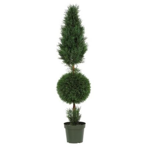 5' Cypress...