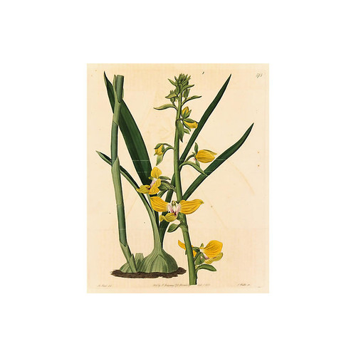 Yellow Orchid, 1821