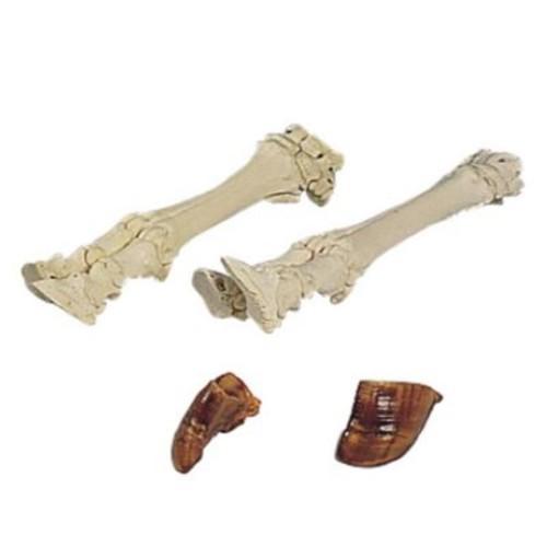 3B Scientific Cow Foot Skeleton Anatomy Model (Rtl161542)