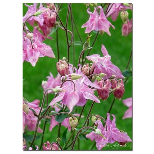 Pink Columbine by Kathie McCurdy, 35 by 47-Inch Canvas Wall Art [35 by 47-Inch]