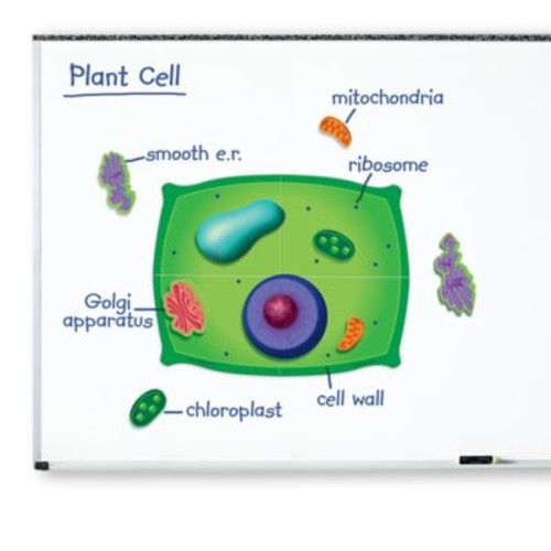 Learning Resources 13-Piece Giant Magnetic Plant Cell Set