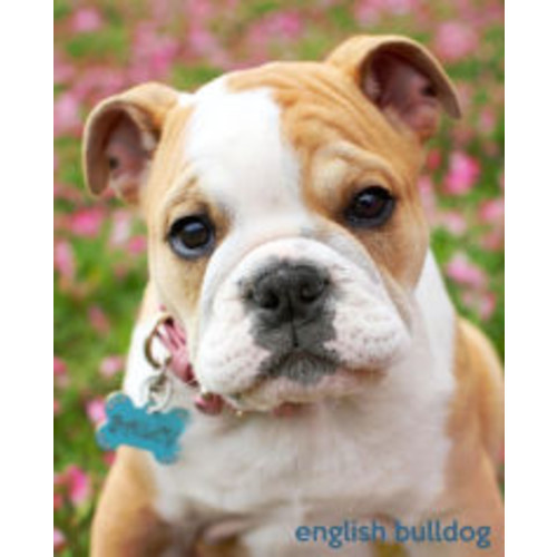 English Bulldog: A Gift Journal for People who Love Dogs: English Bulldog Puppy Edition