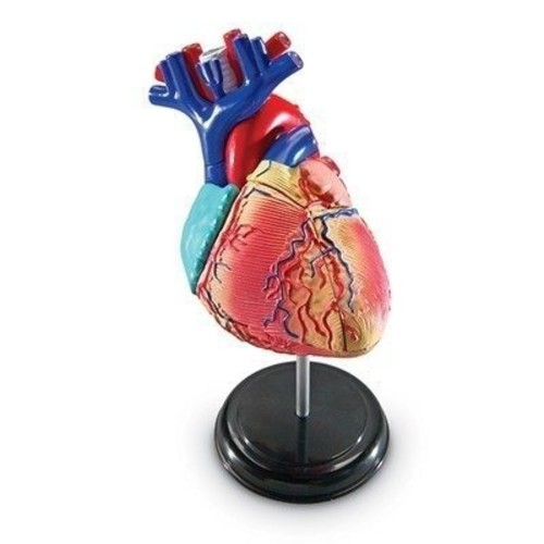 Learning Resources Heart Model