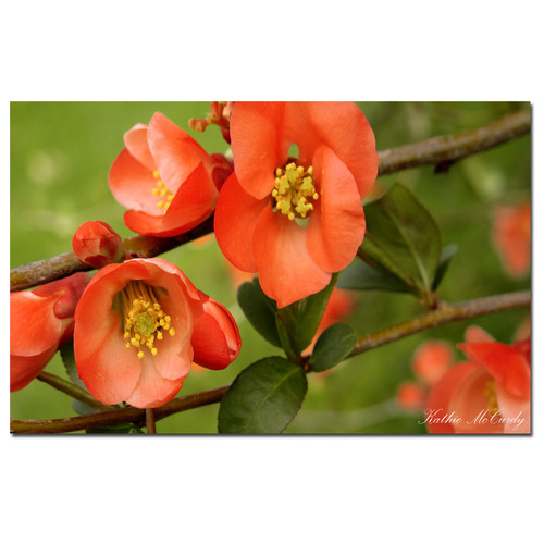 Trademark Fine Art Gallery Wrapped Canvas Kathie McCurdy 'Quince' Large Canvas Art