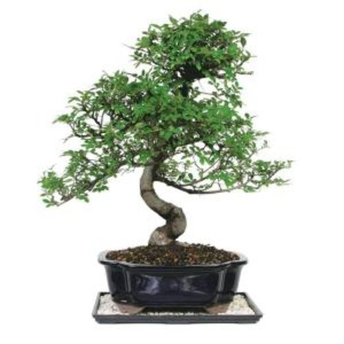 Brussel's Bonsai Chinese Elm Tree