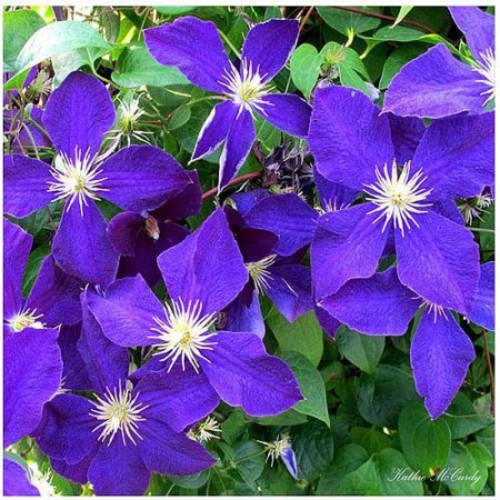 Clematis by Kathie McCurdy, 35x35-Inch Canvas Wall Art