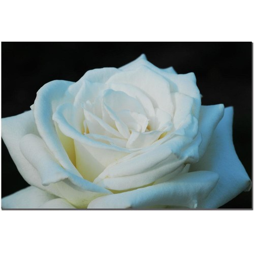 Kurt Shaffer 'White Rose Beauty II' Canvas Art