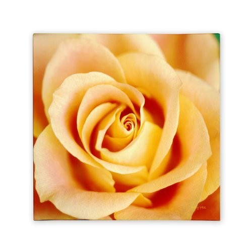 Antique Rose by Kathy Yates, 24x24-Inch Canvas Wall Art [24x24-Inch]