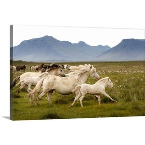 Premium Thick-Wrap Canvas entitled Horses running wild in Iceland
