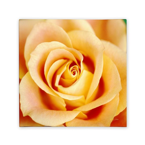 Antique Rose by Kathy Yates, 18x18-Inch Canvas Wall Art [18x18-Inch]