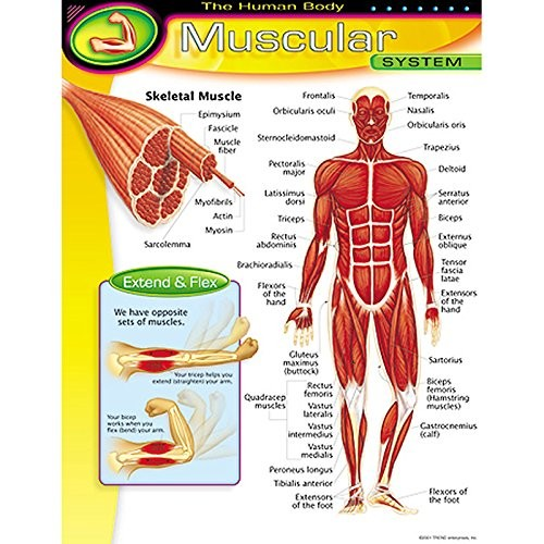 Trend Enterprises The Human BodyMuscular System Learning Chart (1 Piece), 17