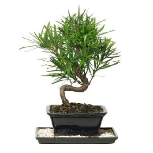 Brussel's Bonsai Podocarpus Micro Phyllus Bonsai
