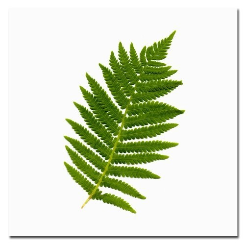 Simple Fern by Kathie McCurdy, 35x35-Inch Canvas Wall Art [35 by 35-Inch]