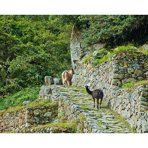 Stewart Parr 'Peru - Machu Picchu Llama on the Walkway' Photo Print