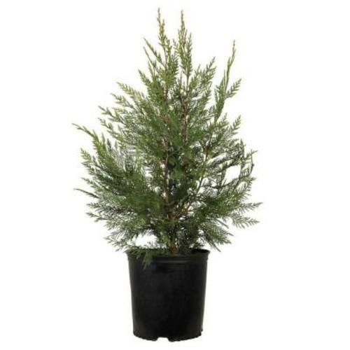 7 Gal. Leyland Cypress, Live Evergreen Tree, Rich Green Foliage
