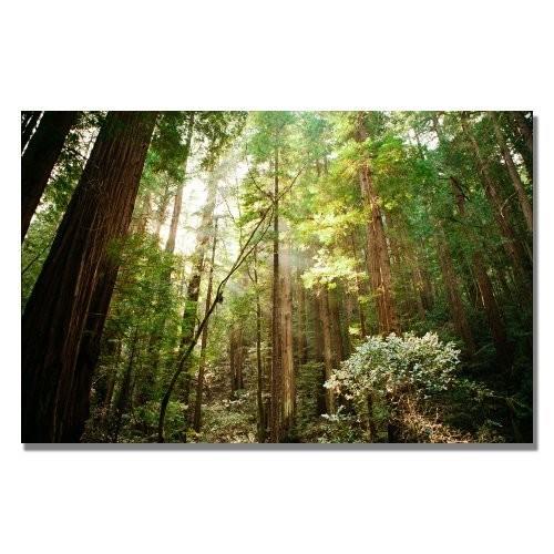 Muir Woods by Ariane Moshayedi, 16x24-Inch Canvas Wall Art [16 by 24-Inch]