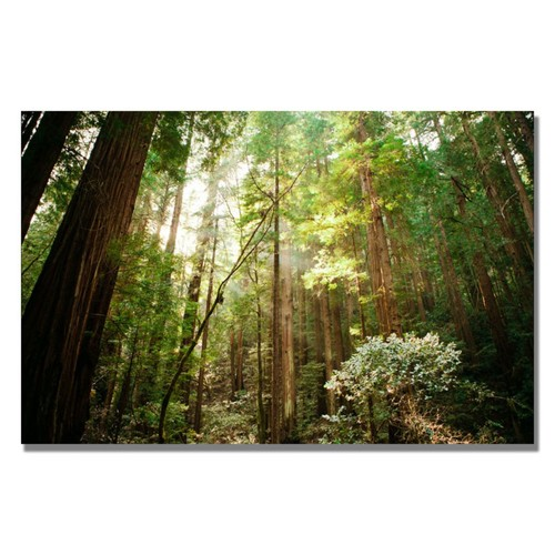 Trademark Fine Art Ariane Moshayedi 'Muir Woods' Canvas Art 22x32 Inches