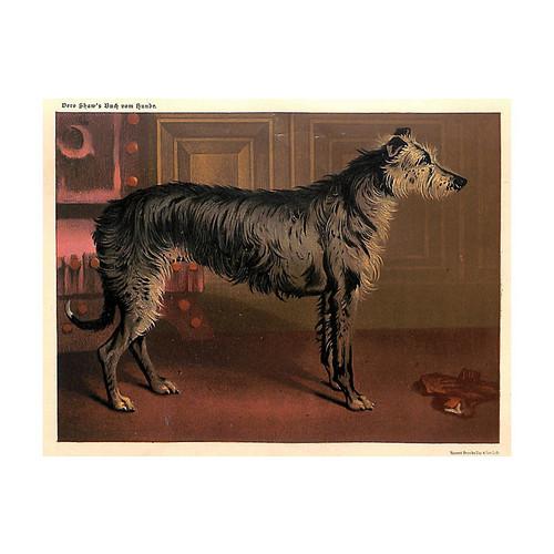 Deerhound, Scottish Deerhound, 1885