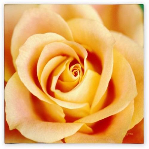 Antique Rose by Kathy Yates, 14x14-Inch Canvas Wall Art [14x14-Inch]