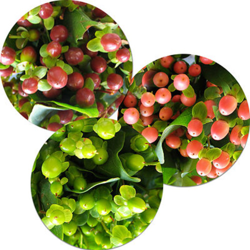 Hypericum, 120 Stems - Assorted