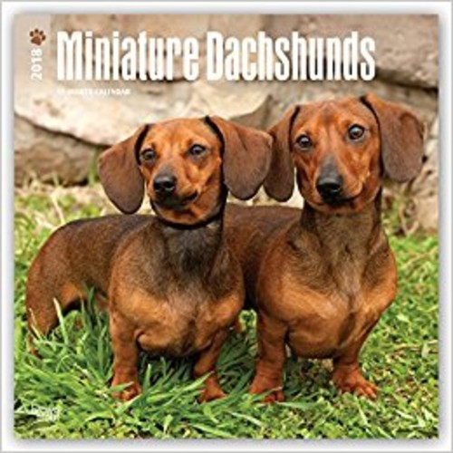 Miniature Dachshunds 2018 12 x 12 Inch Monthly Square Wall Calendar, Animals Small Dog Breeds