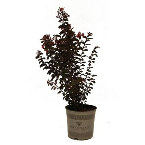 First Editions Red Hot Black Diamond Crape Myrtle