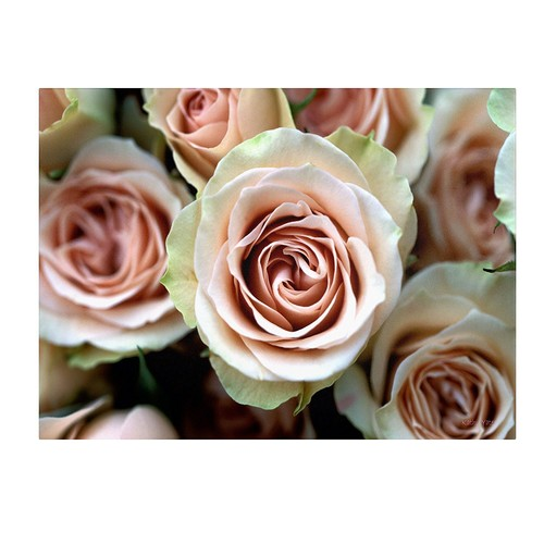 Pale Pink Roses by Kathy Yates work, 14 by 19-Inch Canvas Wall Art [14 by 19-Inch]
