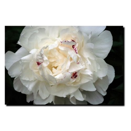 Perfect Peony by Kurt Shaffer, 16x24-Inch Canvas Wall Art [16 by 24-Inch]