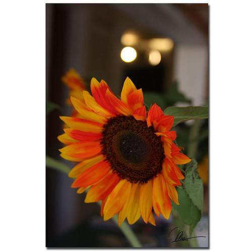 Trademark Global Martha Guerra 'Sunflowers IX' 16