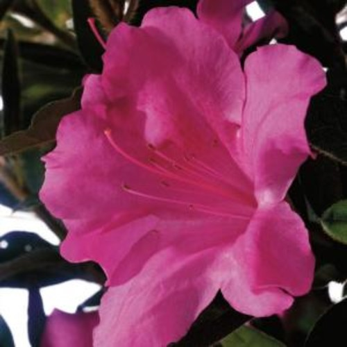 Encore Azalea 1 Gal. Autumn Royalty - Purple Multi-season Re-Blooming Evergreen Shrub