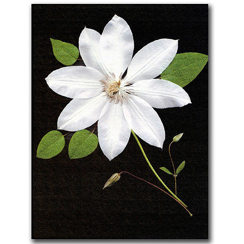 Star by Kathie McCurdy, 14x19-Inch Canvas Wall Art [14 by 19-Inch]