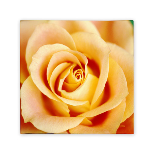 Trademark Global Kathy Yates 'Antique Rose' Canvas Art [Overall Dimensions : 35x35]