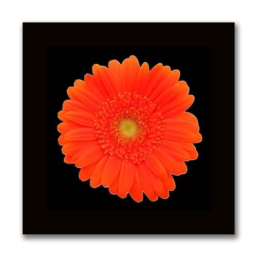 Orange Gerber Daisy, 24x24-Inch Canvas Wall Art