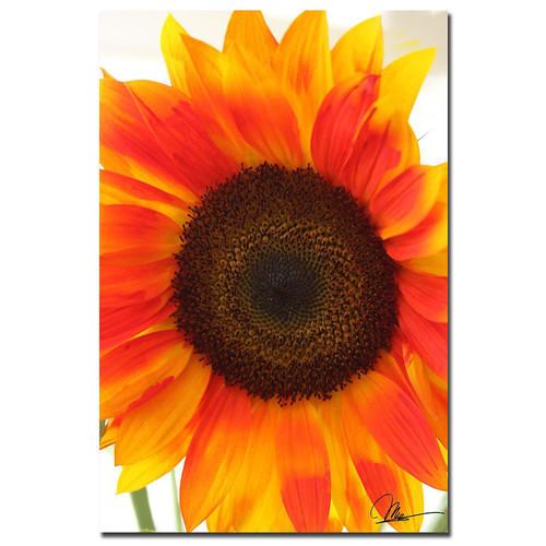 Trademark Global Martha Guerra 'Sunflower V' 16