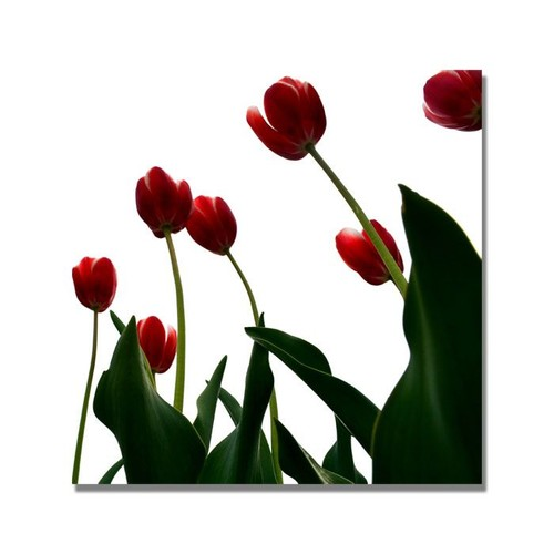 Trademark Global Michelle Calkins 'Red Tulips from Bottom Up V' Canvas Art [Overall Dimensions : 35x35]