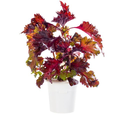 Click and Grow Red Shiso Refill for Smart Herb Garden (3-Pack)