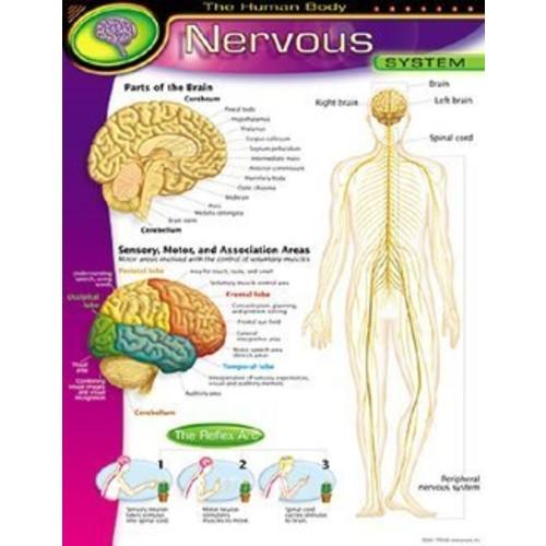 Trend Enterprises The Human BodyNervous System Learning Chart (1 Piece), 17