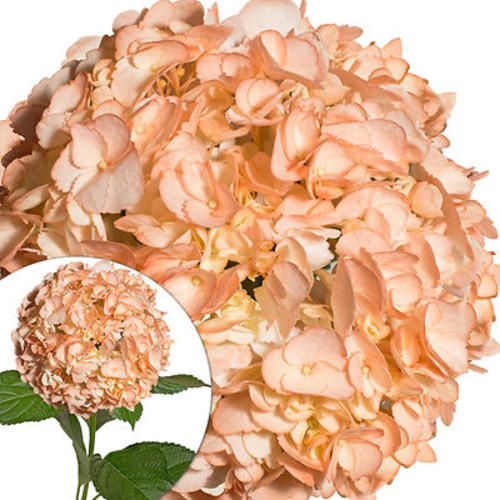 Hand-Painted Hydrangeas, 26 Stems - Peach
