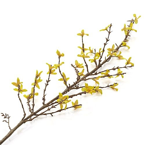 Forsythia Flower Stem