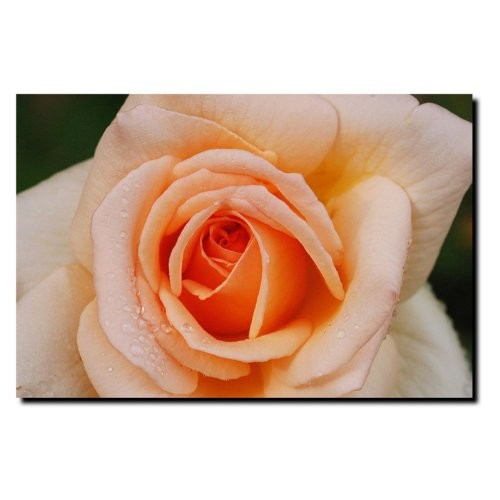 Early Morning Rose by Kurt Shaffer, 16x24-Inch Canvas Wall Art [16 by 24-Inch]