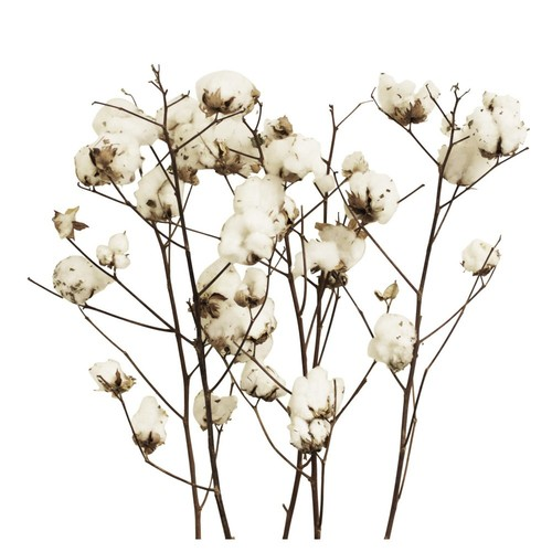 S/5 Cotton Stalks, Dried