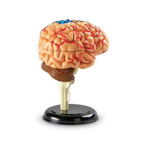 Learning Resources Model Brain Anatomy
