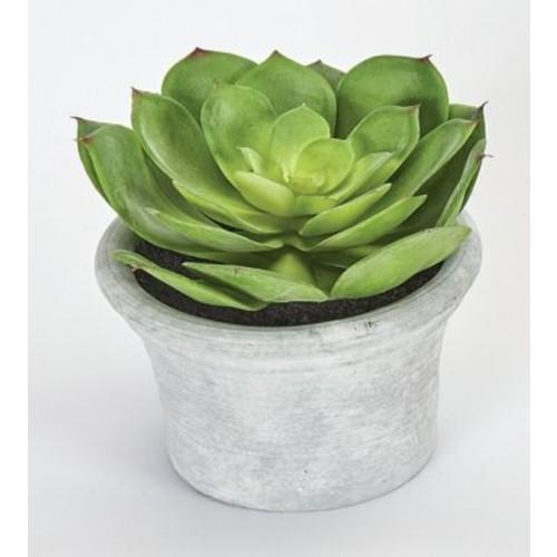 Bungalow Rose Echeveria Succulent Plant in Pot