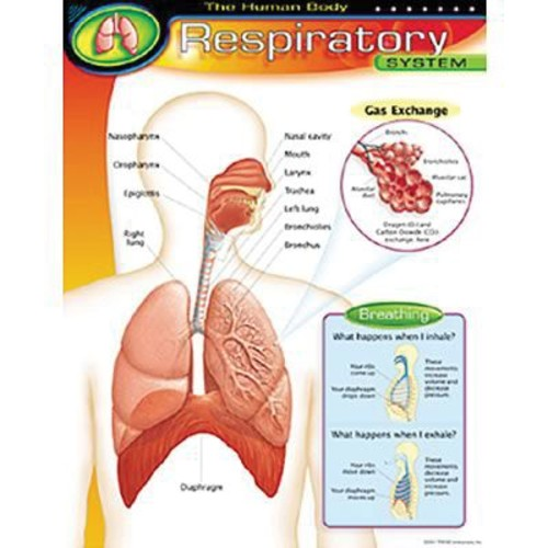 Trend Enterprises The Human Body Respiratory System Learning Chart