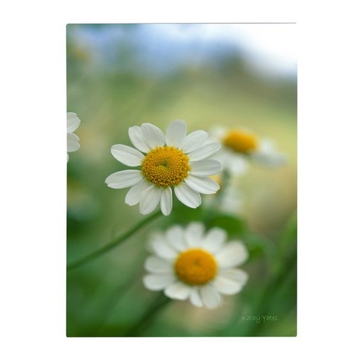 'Chamomile' by Kathy Yates Framed Photographic Print on Wrapped Canvas