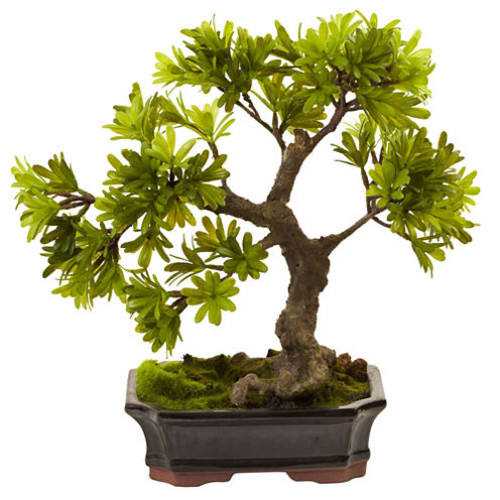 Podocarpus with Mossed Bonsai Planter