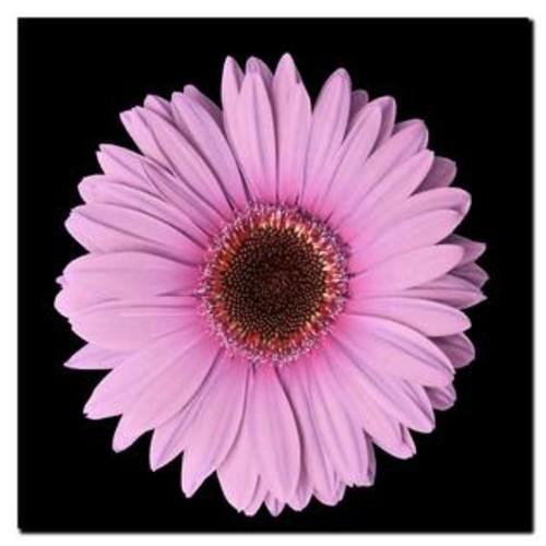 Trademark Global Pink Gerber Daisy Giclee Canvas Art - 24 x 24