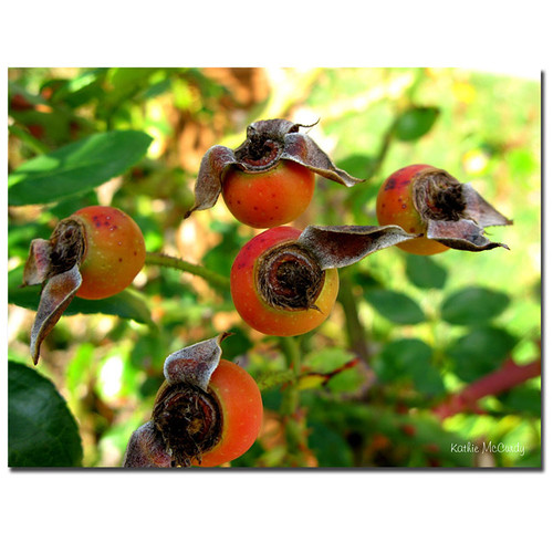 Trademark Fine Art Gallery Wrapped Canvas Kathie McCurdy, 'Rose Hips' Canvas Art