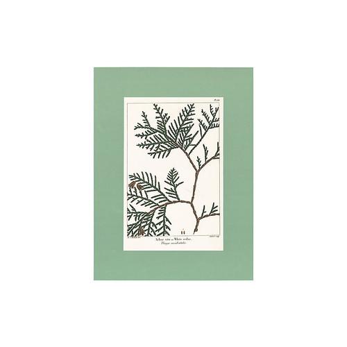 Hand-Colored White Cedar Branch, 1819
